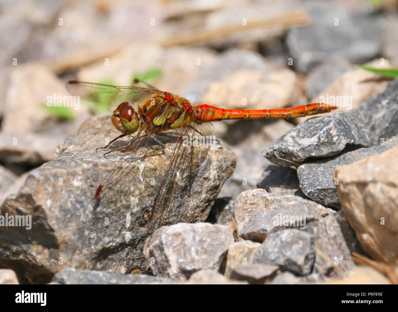 Common Darter Dragonfly (Sympetrum striolatum) male at rest on rock, UK Stock Photo