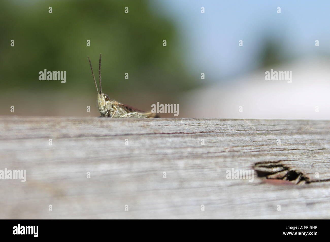 grasshopper on a fence - Stock Image