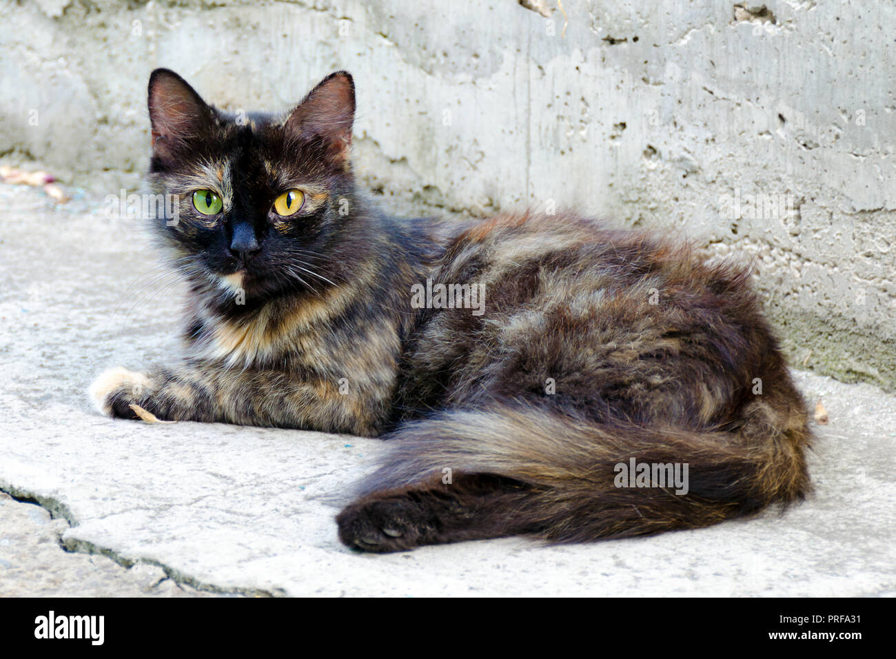 Homeless red black cat with eyes of different colors. Portrait of two-colored cat lying on outdoor. Stock Photo