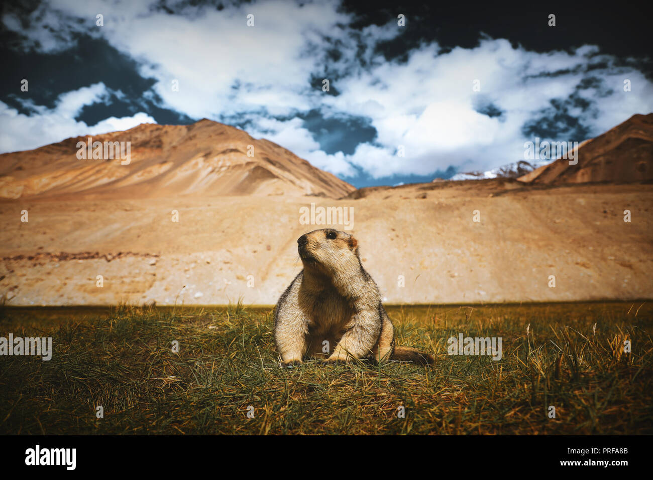 MARMOTS : Marmot around the area near Changthang Valley in Ladakh, India.  Marmots are large squirrels live under the ground - Stock Image