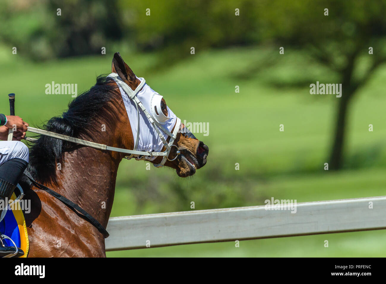 Race horse head neck stirrips blinkers close up on race track - Stock Image