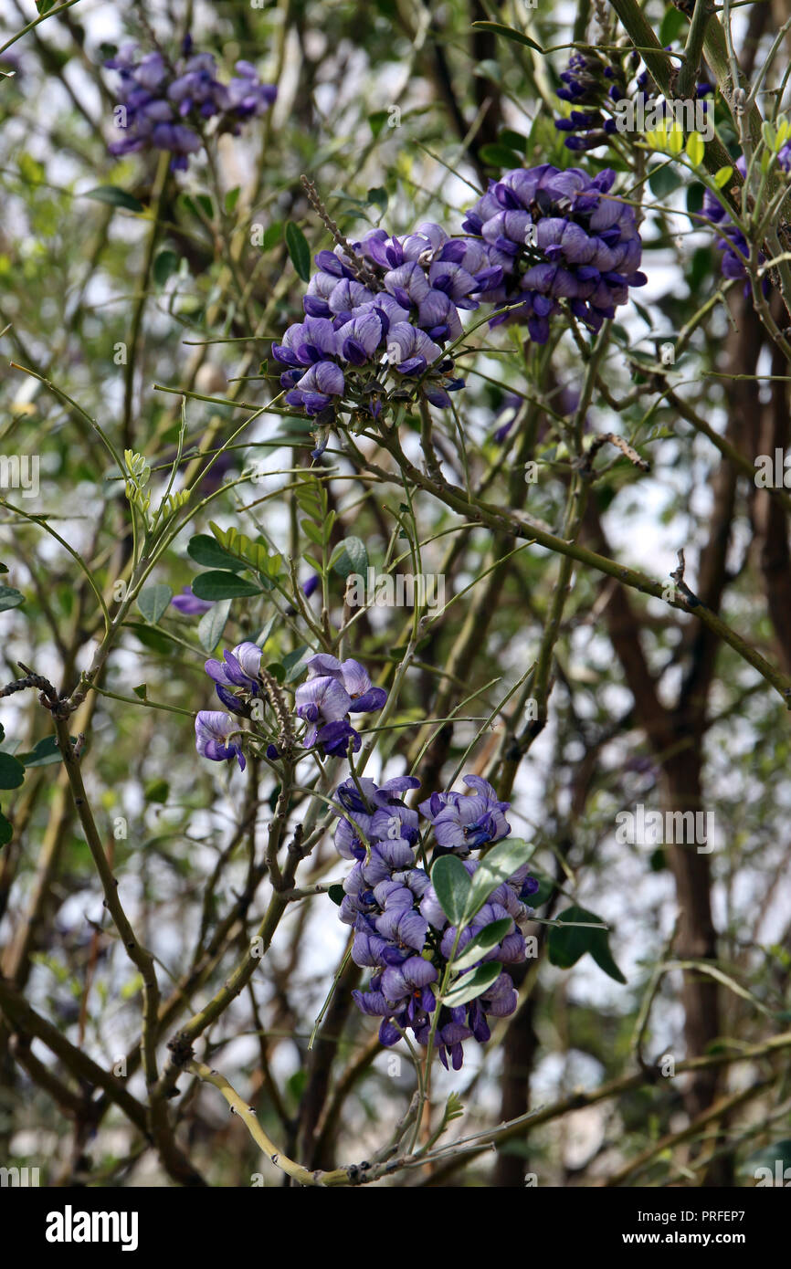 Clusters Of Purple Flowers On A Texas Mountain Laurel Tree