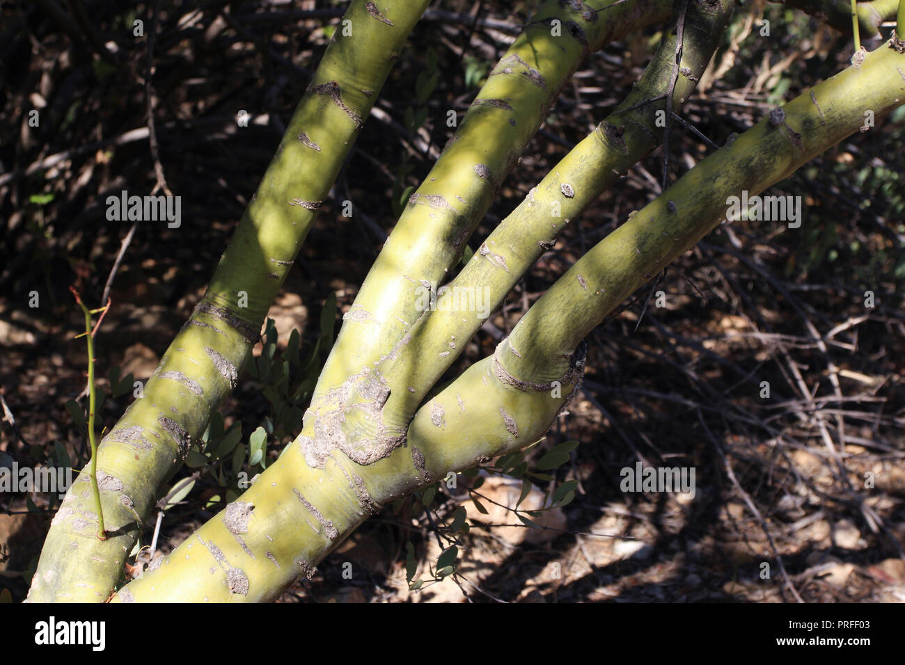 Close up of the green bark and branches of a Foothill Palo Verde tree - Stock Image