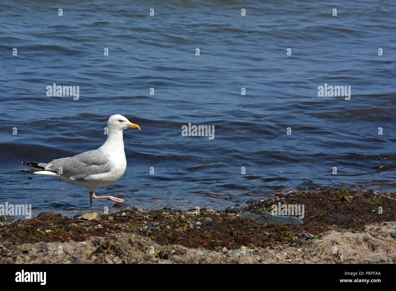 Möve   Meer   Hintergrund - Stock Image