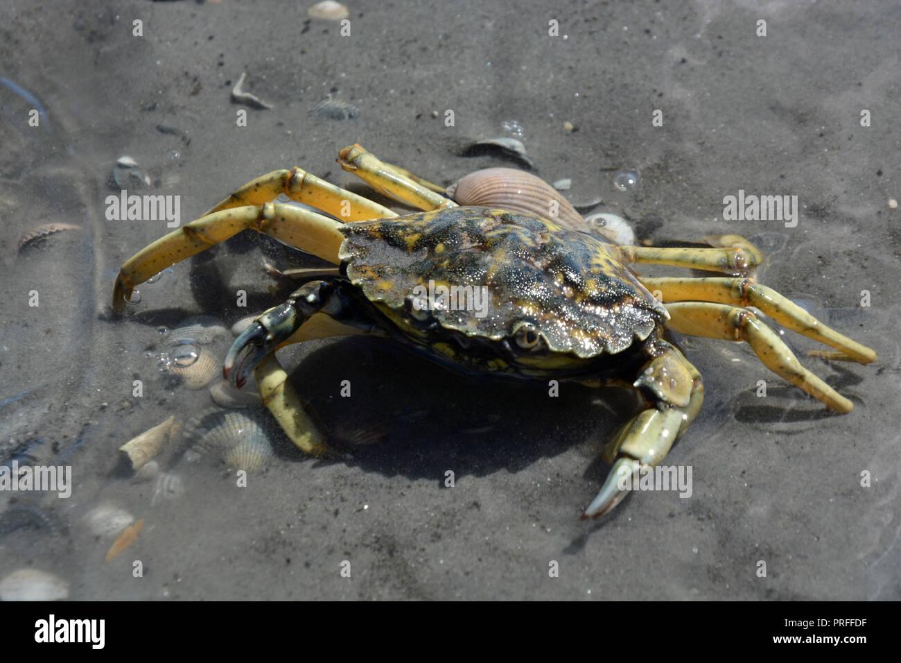 Taschenkrebs Krabbe Taschenkrebs Taschenkrebs Taschenkrebs  Krebs   Krabben - Stock Image