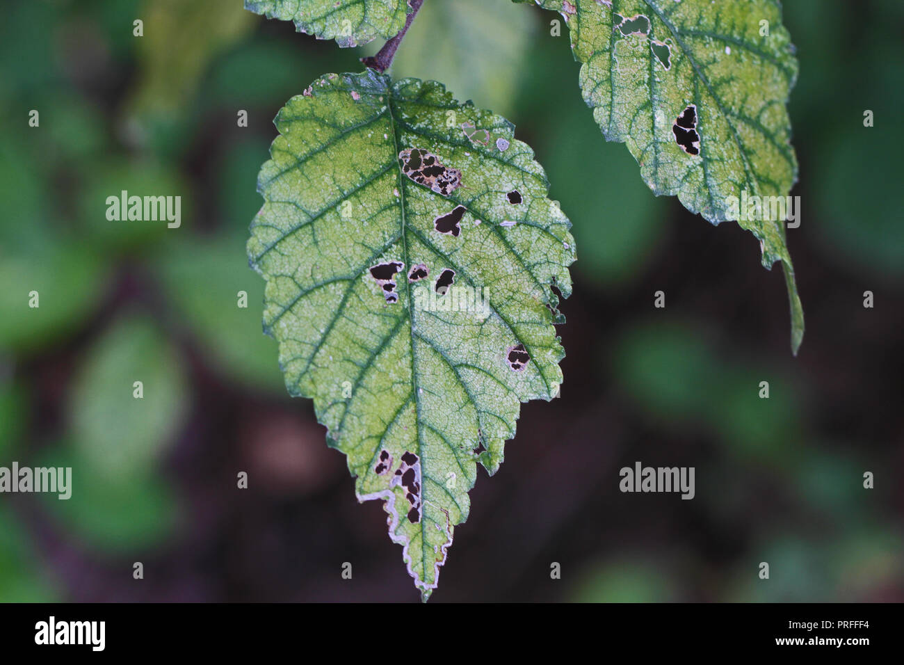 dying and diseased chloritic leaves on a dying elm tree Latin ulmus or frondibus ulmi with Dutch elm disease also called grafiosi del olmo in Italy - Stock Image