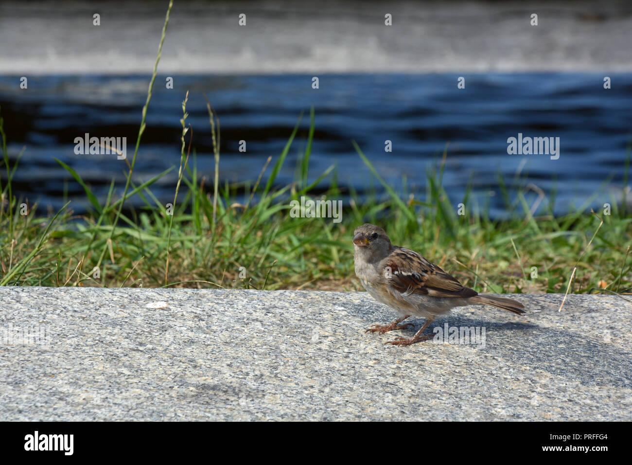 Vogel   Spatz - Stock Image