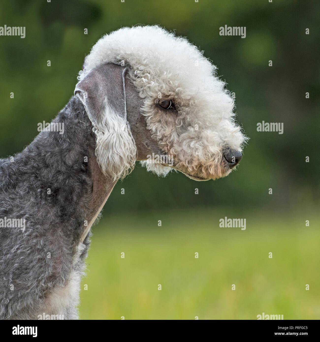 Bedlington Terrier Stock Photo 221003669 Alamy