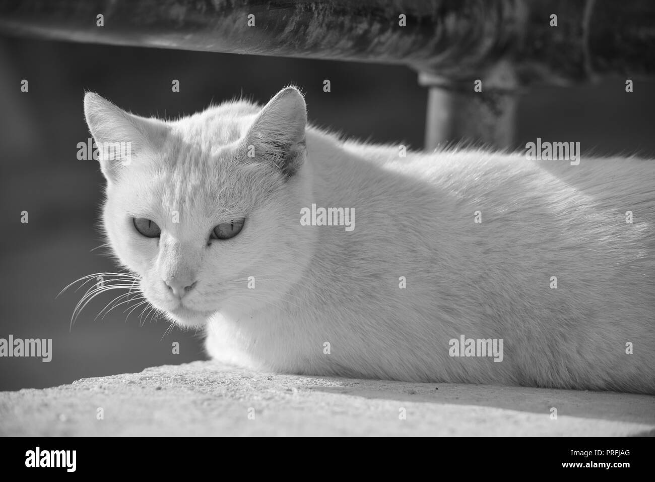 A white cat, resting on a low wall under a rusty metal railing in Gozo, Malta. Feral cat, adapted to living outside. Photo in black and white. - Stock Image