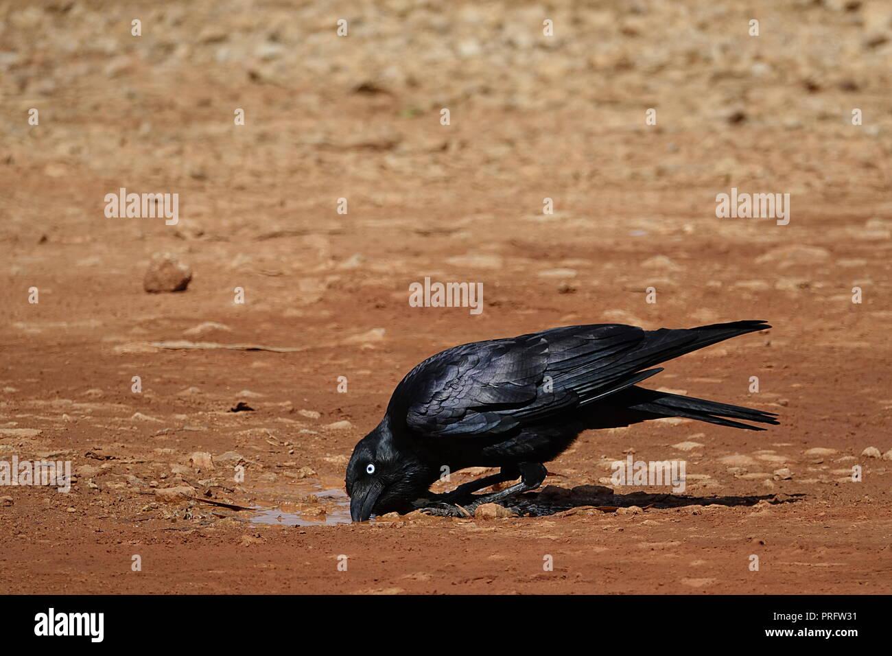 Australian raven, Corvus coronoides, Archer River, Cape York, Far North Queensland, Australia - Stock Image