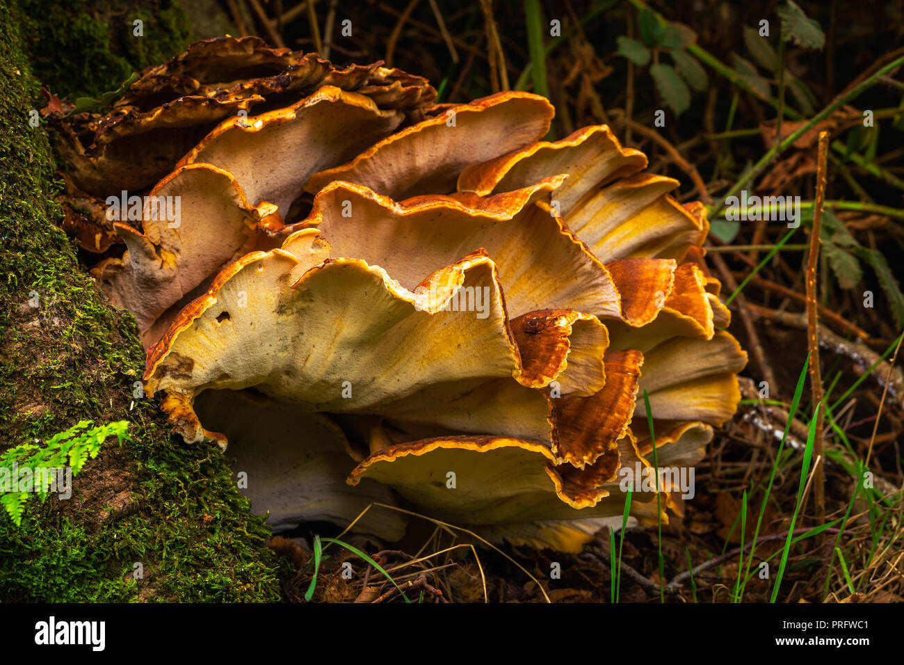 sulphur shelf, chicken of the woods, the chicken mushroom, or the chicken fungus - Stock Image