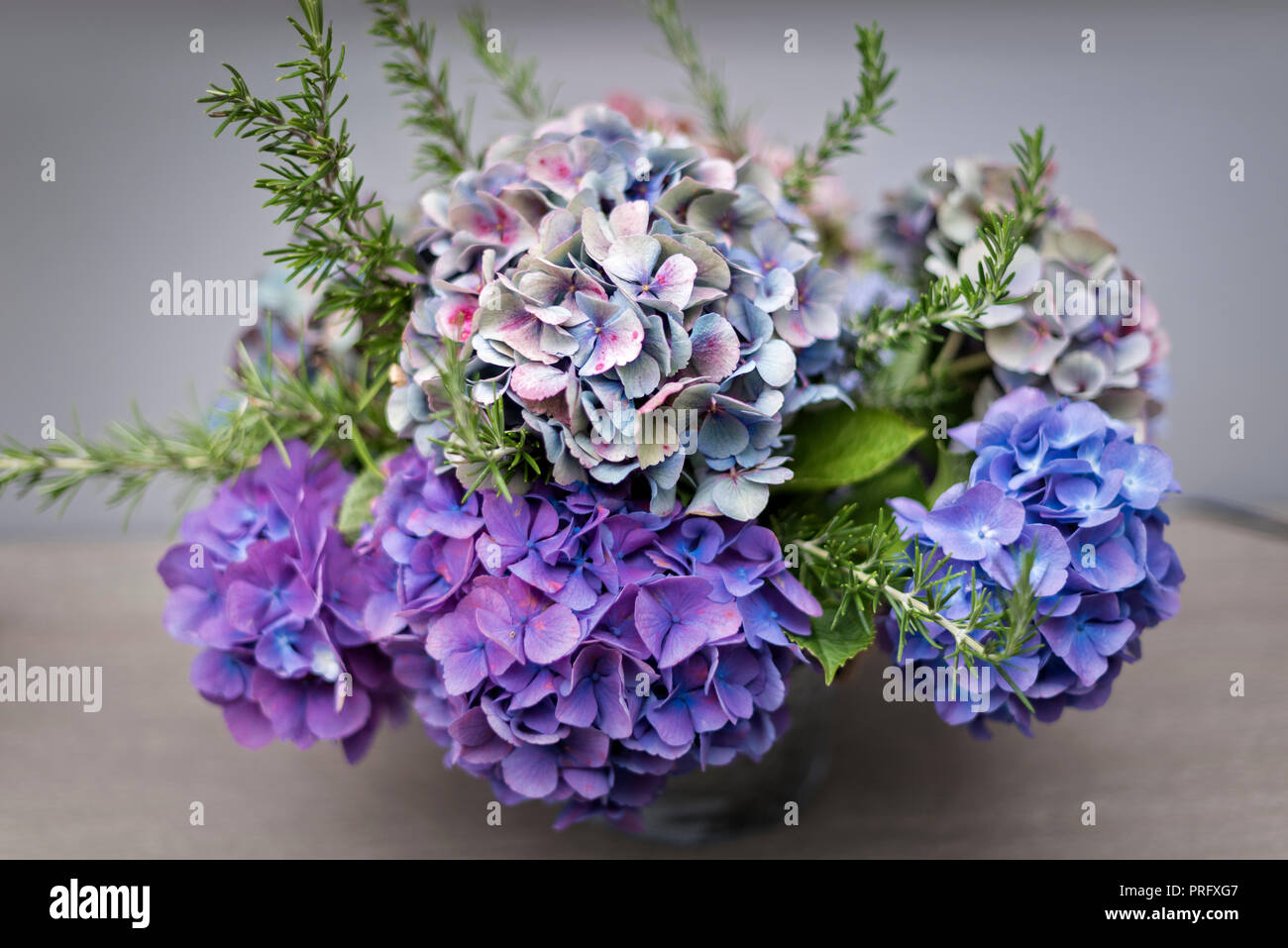 Purple hydrangeas in Devon cottage - Stock Image