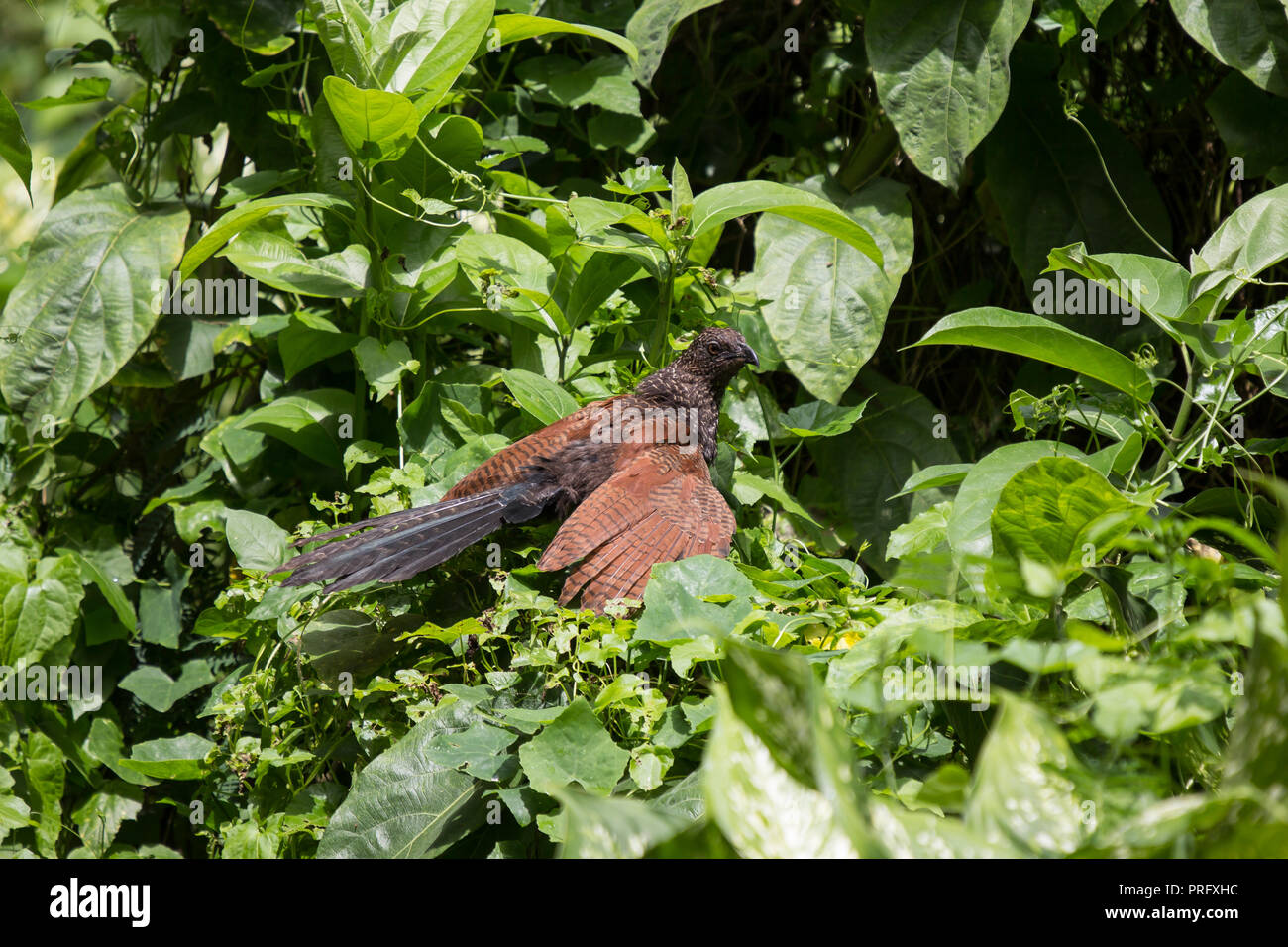 Greater coucal (Centropus sinensis). Bandhavgarh National Park. Madhya Pradesh. India. - Stock Image