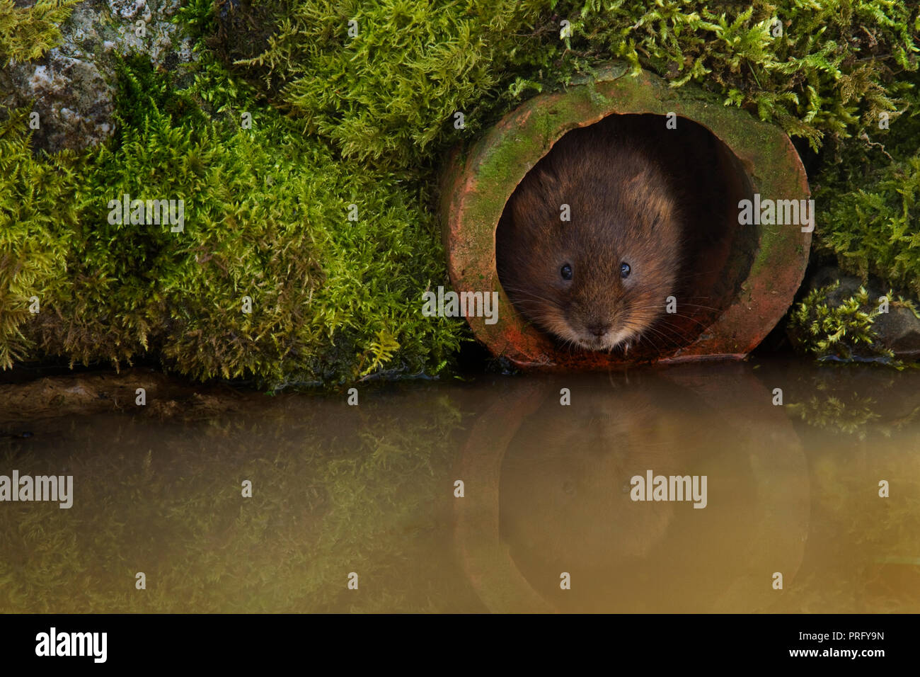 Single adult Water Vole  looking out of an old clay drainage pipe, Devon, UK. - Stock Image