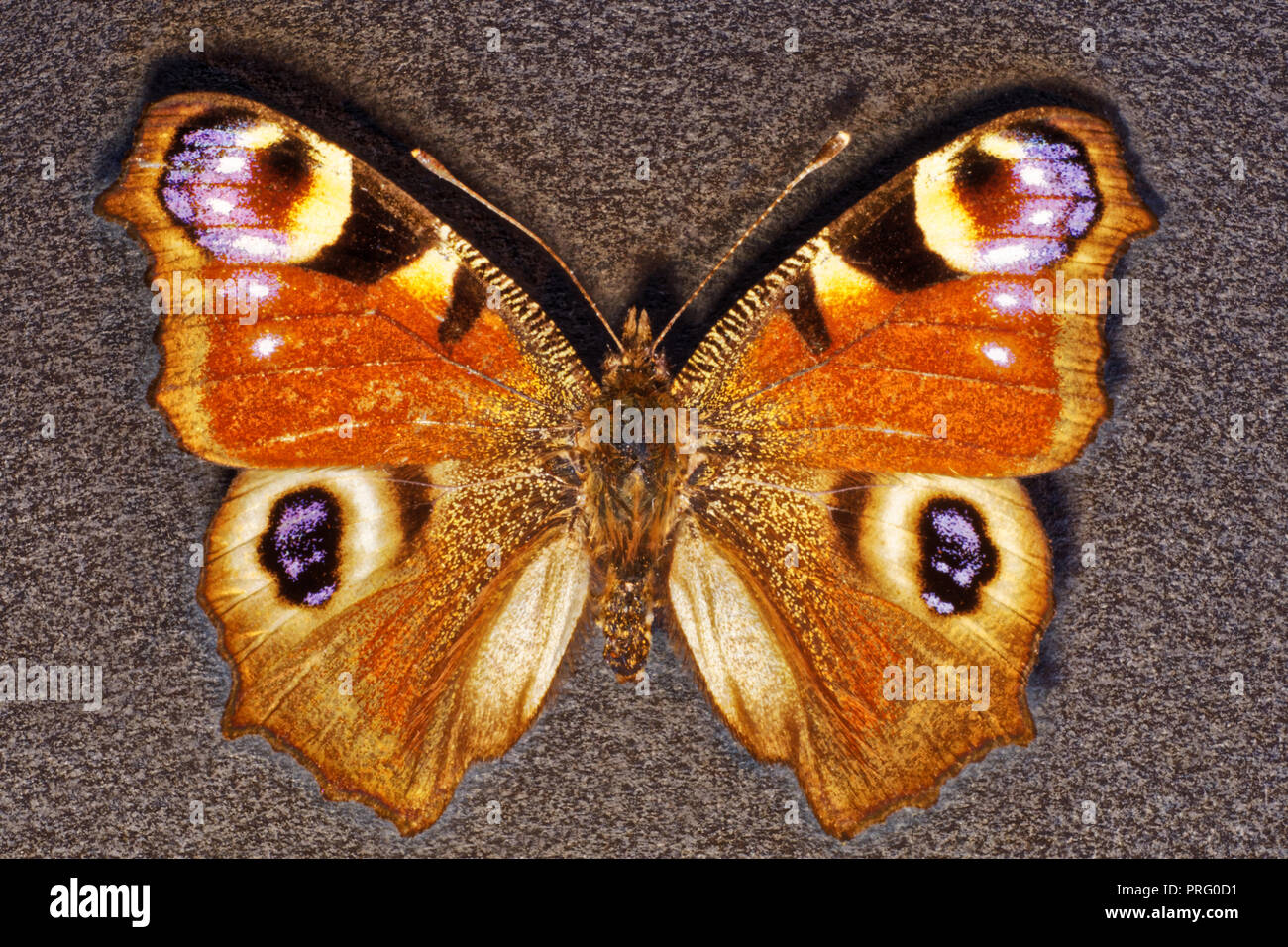 Peacock eye diurnal,insects,butterflies,Russia Stock Photo