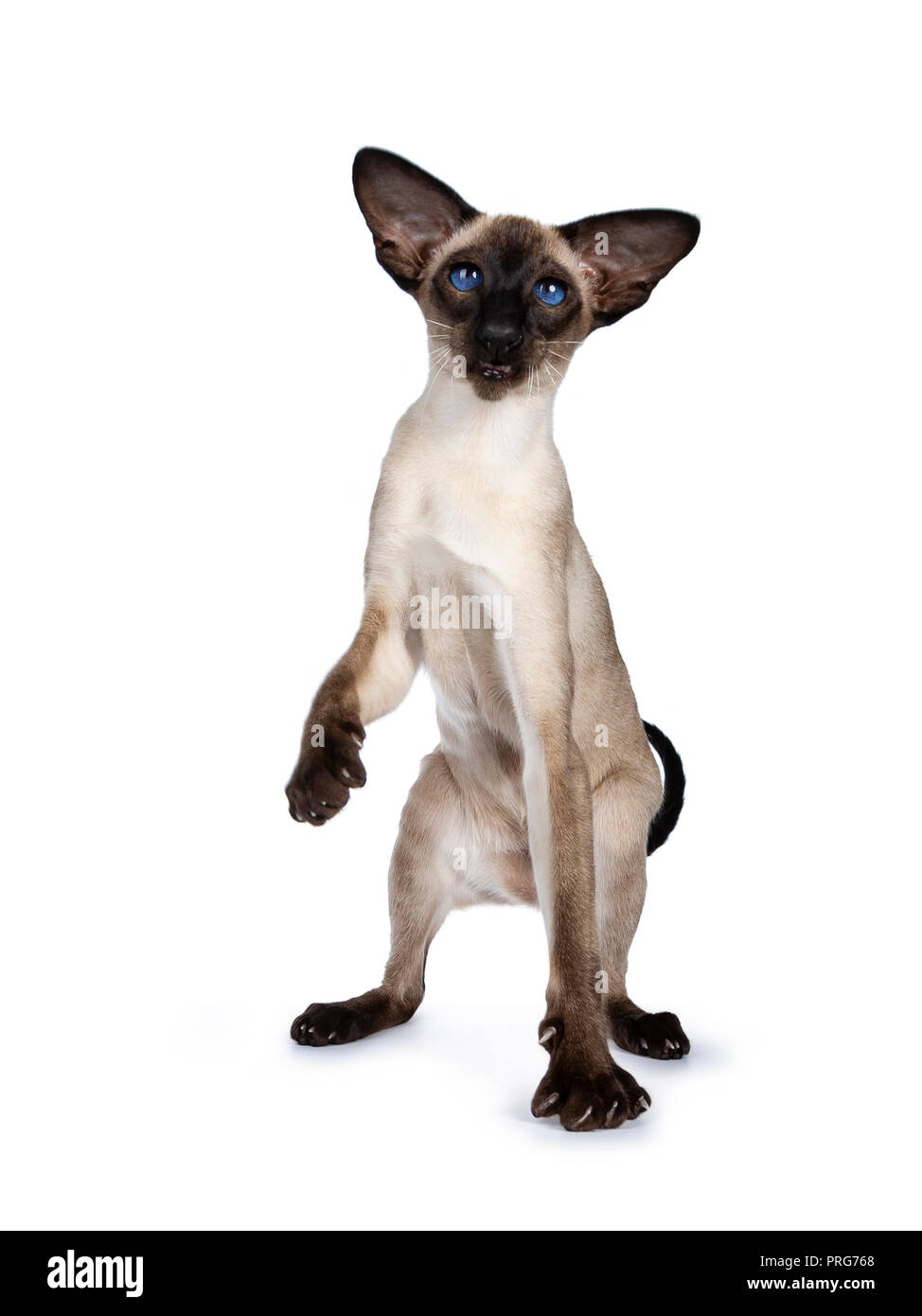 Excellent seal point Siamese cat kitten sitting / playing standing side ways / front view looking besidelense, isolated on white background and one pa - Stock Image