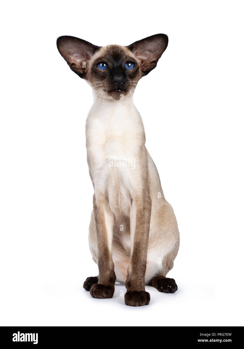 Excellent seal point Siamese cat kitten sitting front view looking at camera with deep blue eyes, isolated on white background - Stock Image