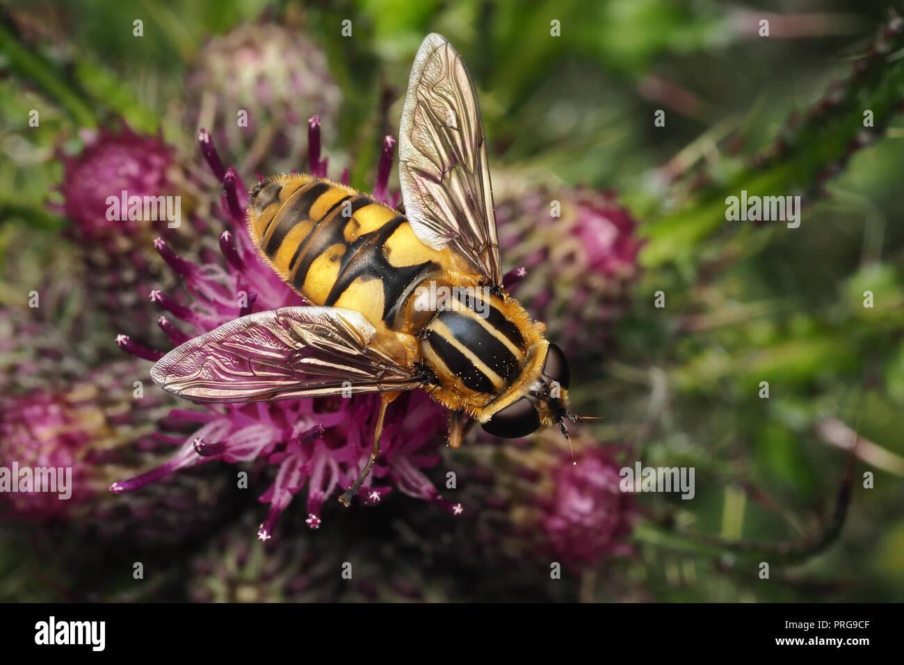 Helophilus pendulus Hoverfly feeding on thistle. Tipperary, Ireland - Stock Image