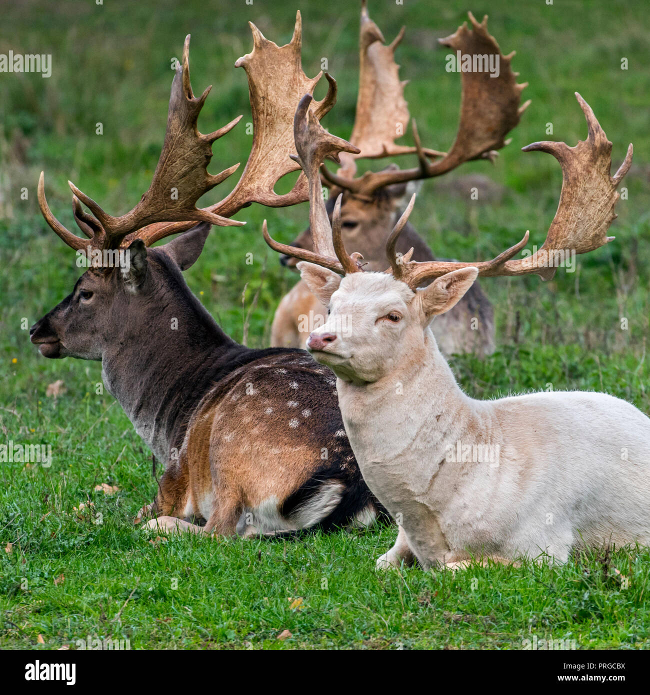 Fallow deer (Dama dama) bucks / males with large antlers resting in meadow showing common darker colouring of winter coat and leucistic white variant - Stock Image