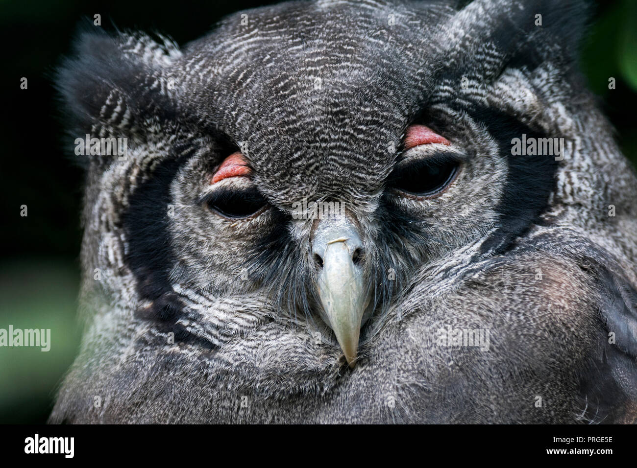 Close up portrait of Verreaux's eagle-owl / milky eagle owl / giant eagle owl (Bubo lacteus) resting and showing pink eyelids, native to Africa - Stock Image