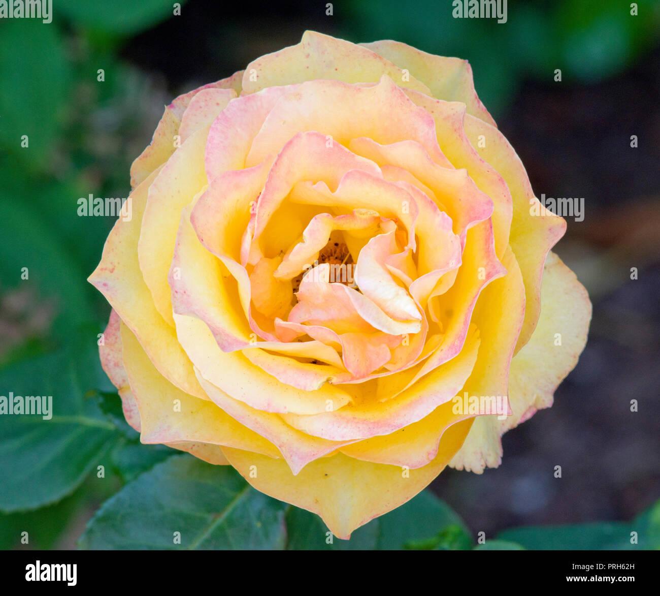MARILYN: Dutch Rosa