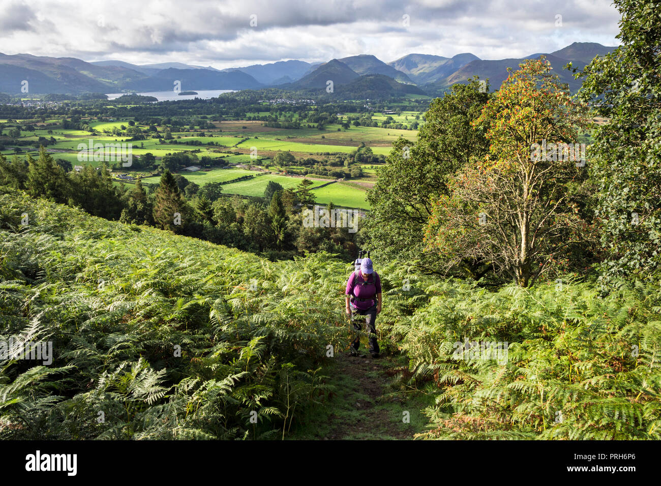 Walker on the Allerdale Ramble Path below Dodd in the Thornthwaite Forest (Lyzzick Wood) with Derwent Water in the Background, Lake District, UK. - Stock Image