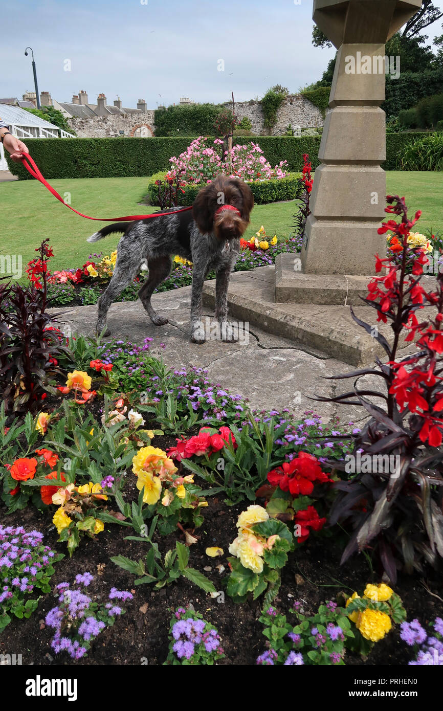 German wire haired pointer dog in park - Stock Image