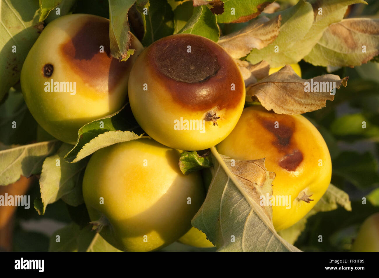 Granny Smith apples burnt by searing 47°C heat wave and strong Northerly winds, literally cooking the fruit on the trees. - Stock Image