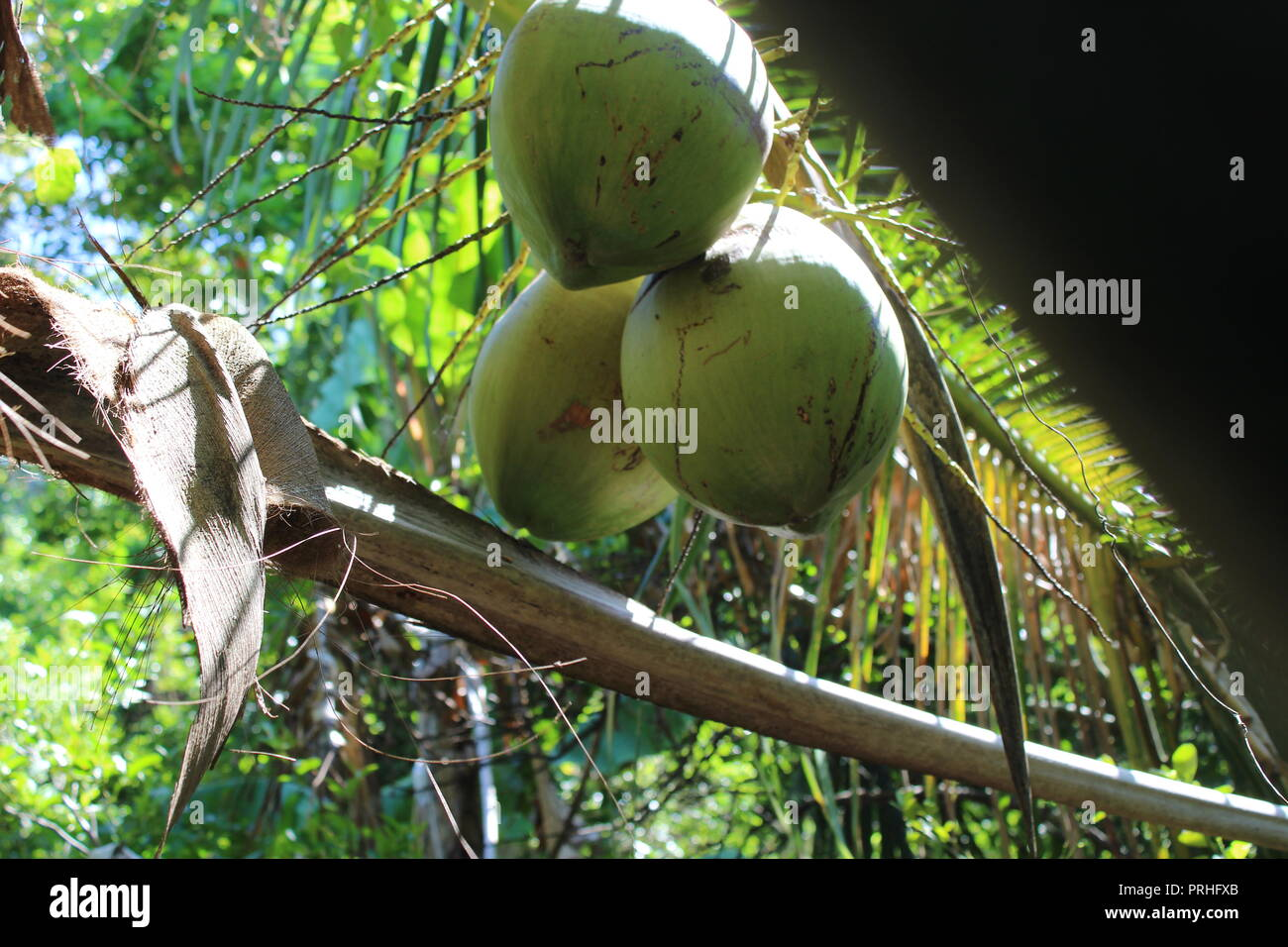 Summer Flora and giant Coconut - Stock Image
