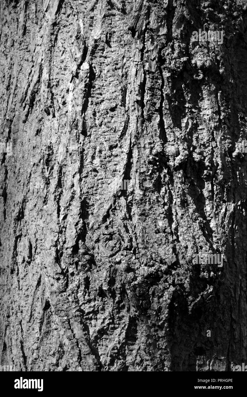 Close-up, black and white image of the bark on a large, ancient tree in Stockton-on-Tees, UK. - Stock Image