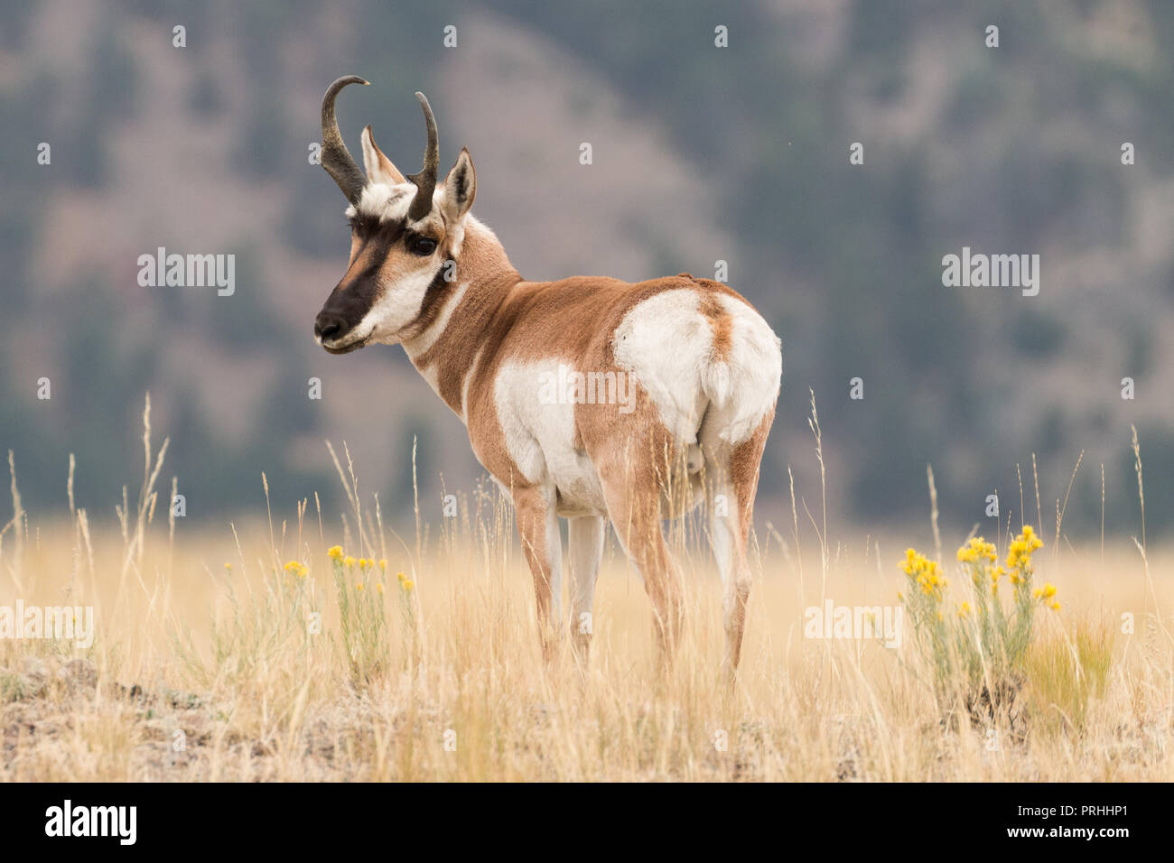 Pronghorn buck in Yellowstone National Park during the mating season. - Stock Image
