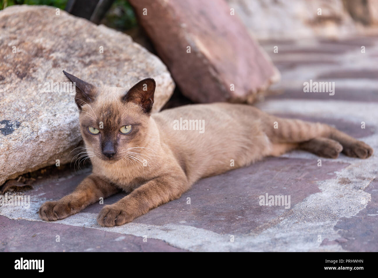 The Siamese Cat in the temple in the Bangkok, Thailand - Stock Image