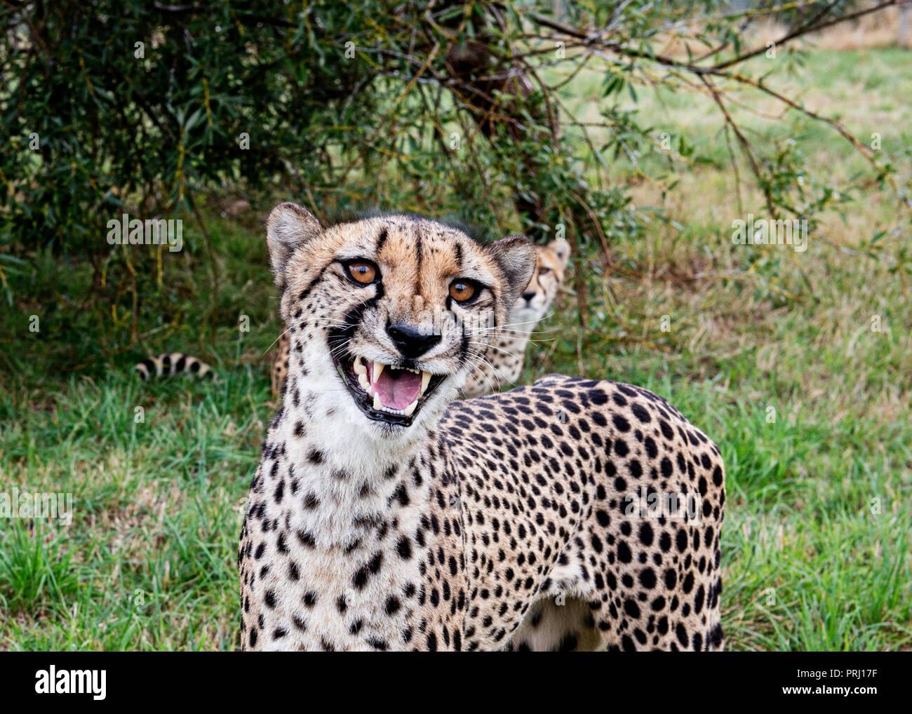 UK, Hamerton Zoo - 17 Aug 2018: cheetah, could be laughing, smiling or snarling - Stock Image