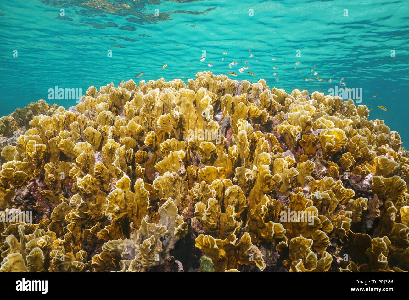 Underwater bladed fire coral, Millepora complanata, with small fish below water surface in the Caribbean sea - Stock Image