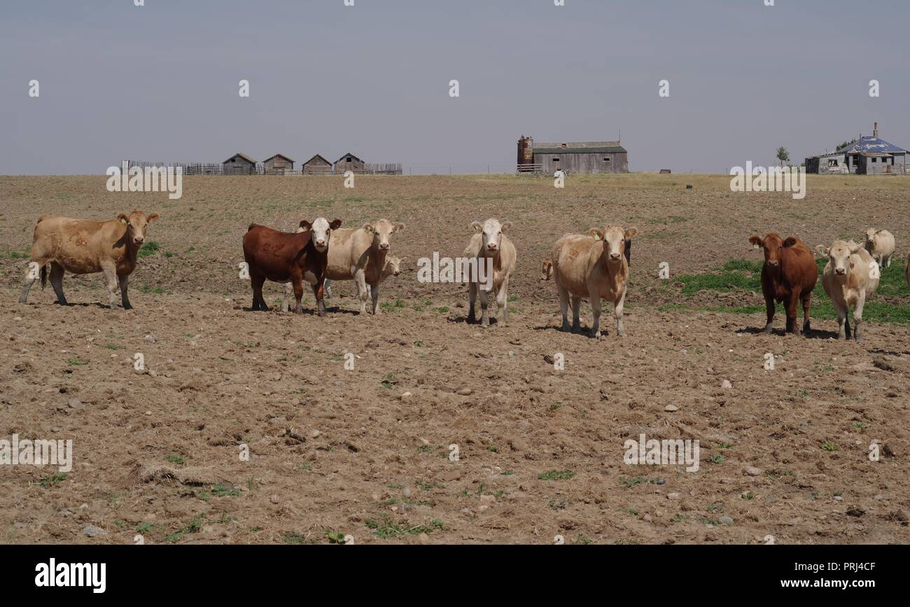 57fd060bc0e38 Cow In Drought Stock Photos   Cow In Drought Stock Images - Alamy