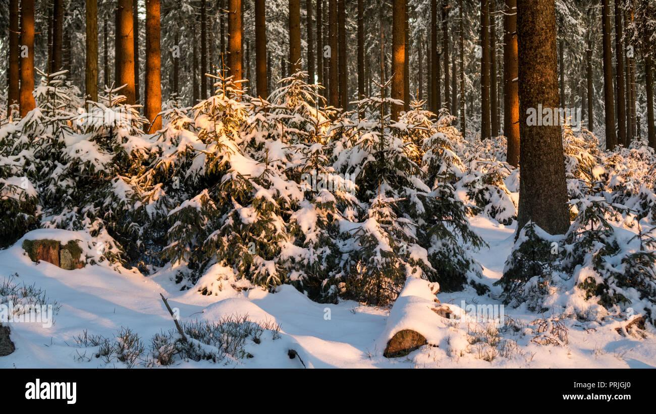 winter forest Feldberg Taunus in Hesse Germany Stock Photo