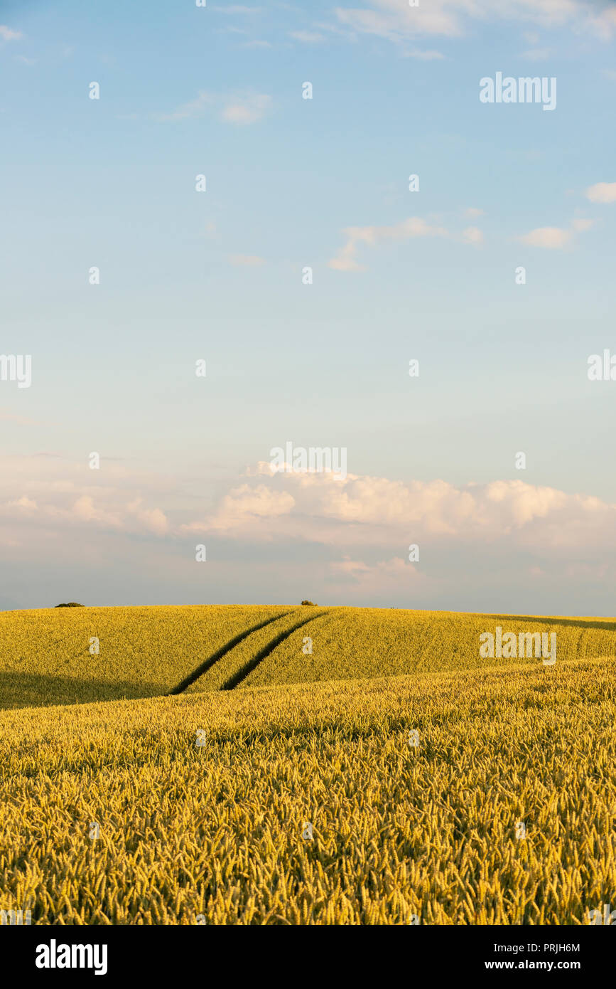 Wheatfield near Irschenhausen, Upper Bavaria, Bavaria, Germany - Stock Image