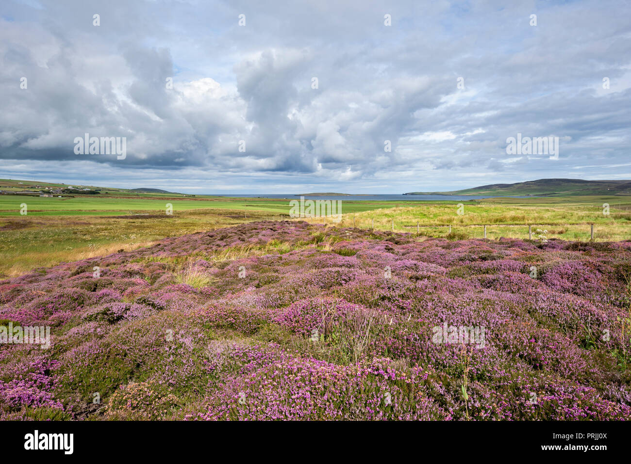 Flowering Heather (Calluna vulgaris), Orkney Islands, Scotland, United Kingdom - Stock Image