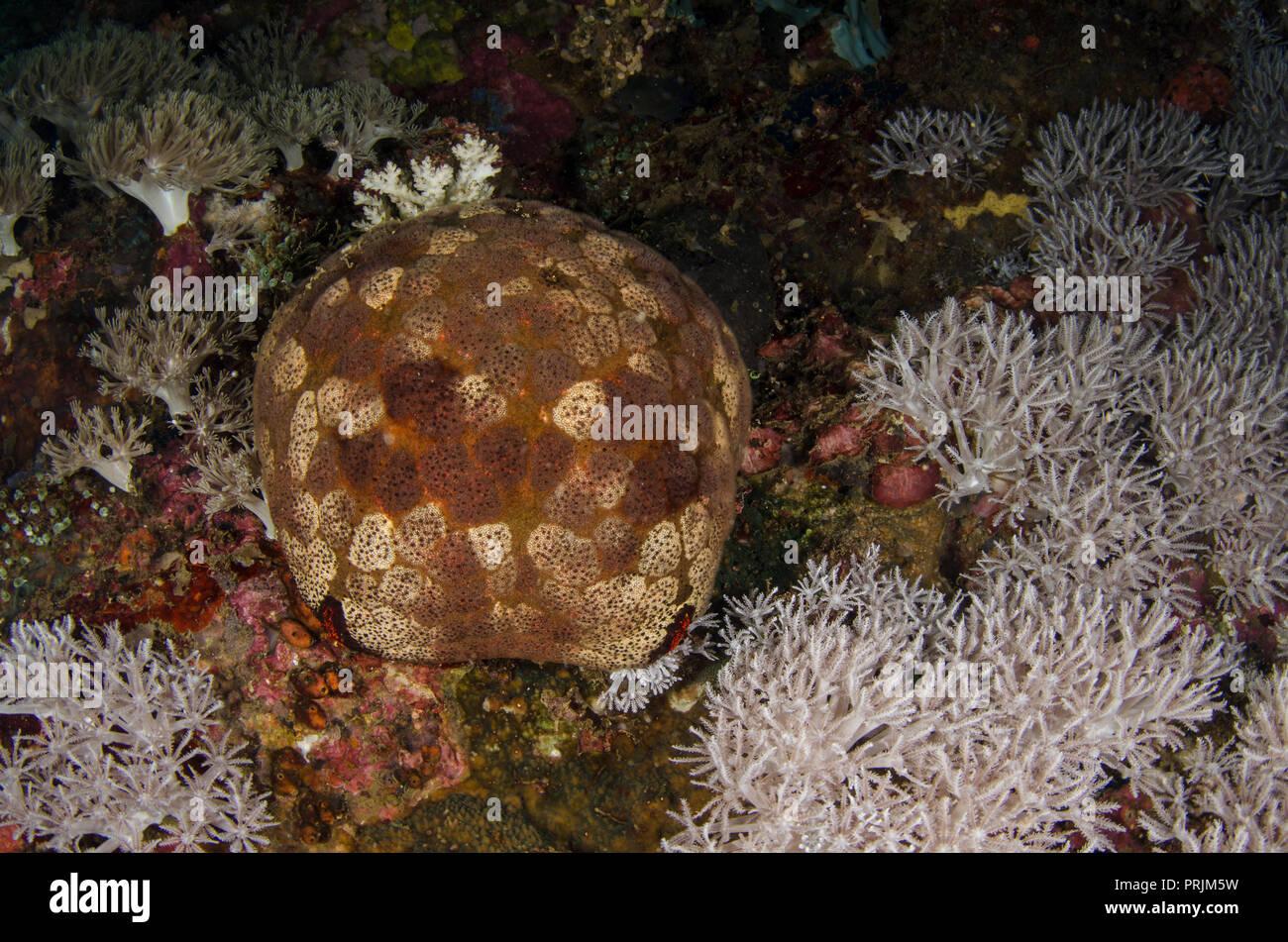 Cushion star, Culcita novaguineae, Oreasteridae, Anilao, Batangas, Philippines, Philippine Sea, Pacific Ocean, Asia - Stock Image
