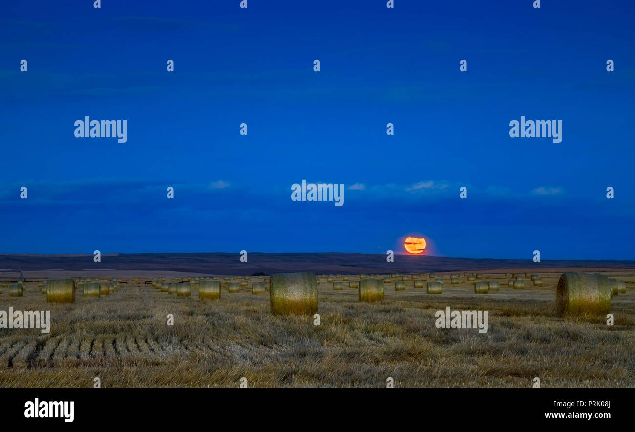 The Harvest Moon of September 24, 2018 in thin clouds and above a field of hay bales in southern Alberta.  The rows of bales run east-west and due eas - Stock Image