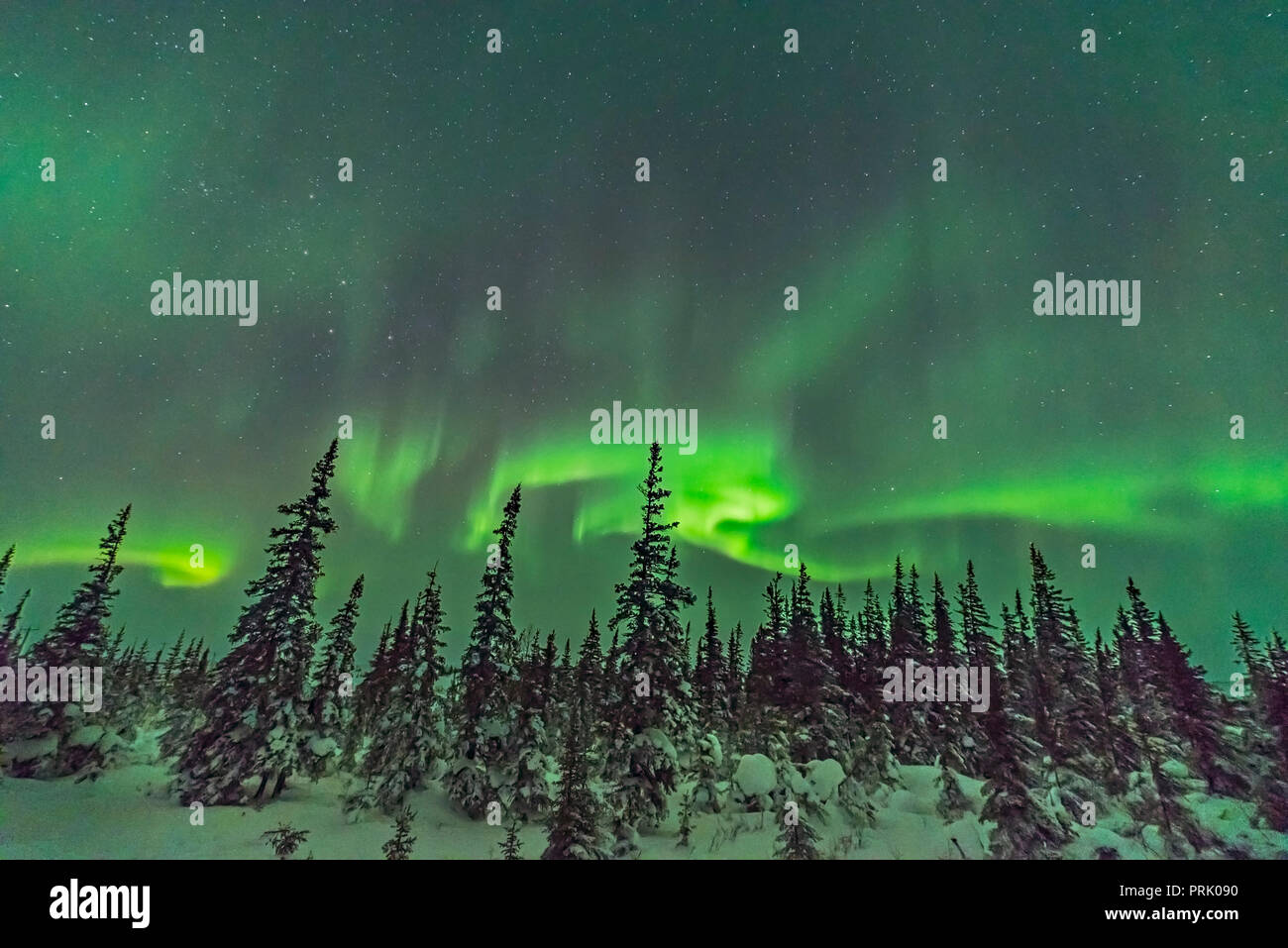 A swirl of aurora over the snow-covered trees of the boreal forest at the Churchill Northern Studies Centre, Churchill, Manitoba.  Cassiopeia is at le - Stock Image