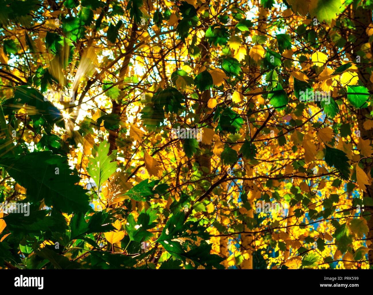 Yellow And GreenLeaves Lit By The Sun Rays. Colorful Background. Autumn Golden Foliage. - Stock Image