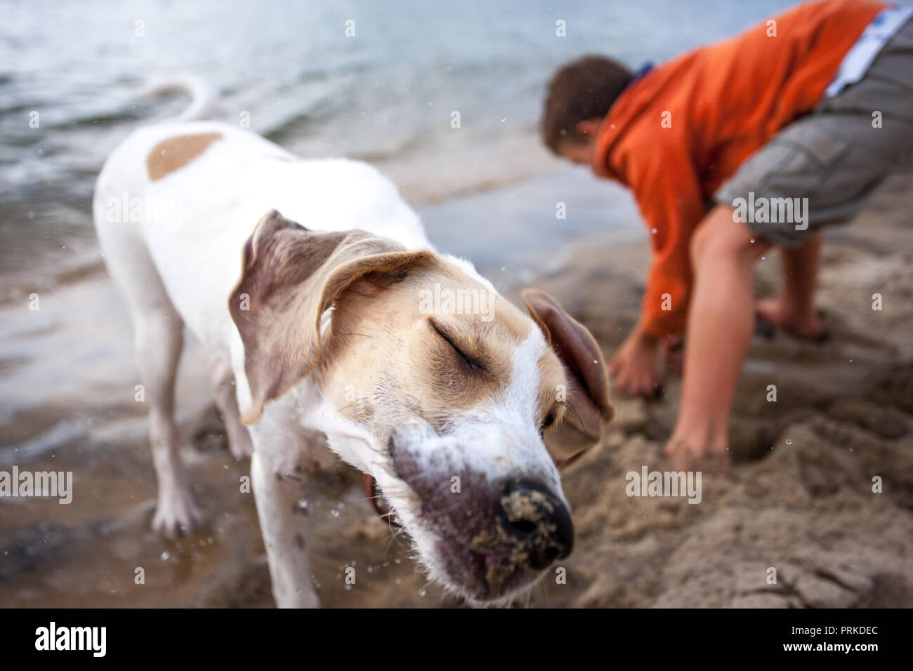 Young boy building a sandcastle with a dog shaking sand and water from itself - Stock Image