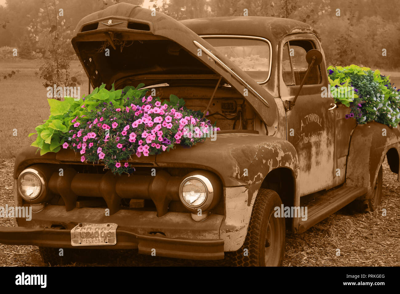 Selective color vintage truck with colorful flowers - Stock Image