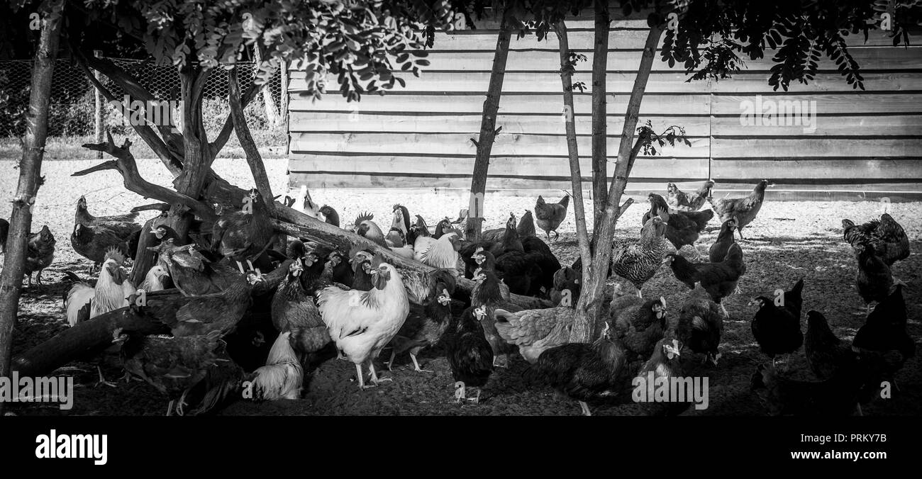 Free range chicken on a traditional poultry farm, France - Stock Image