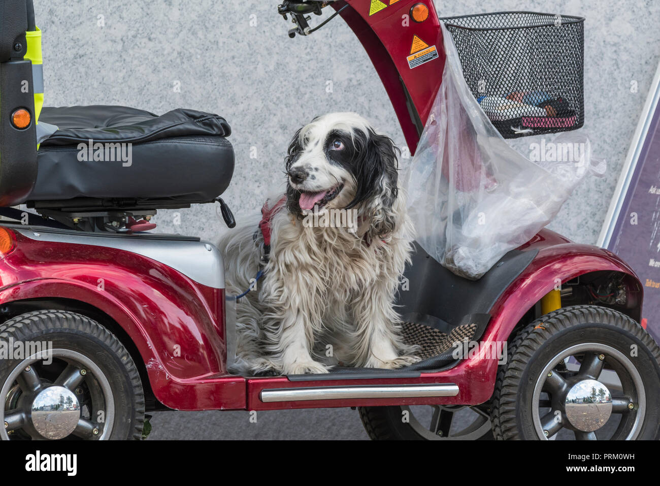 Dog sitting on a mobility scooter waiting for it's owner to return from shops, in the UK. - Stock Image