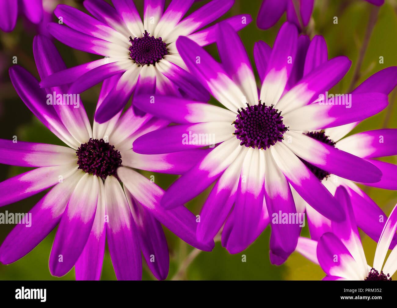 Senetti Trio flowers - Stock Image