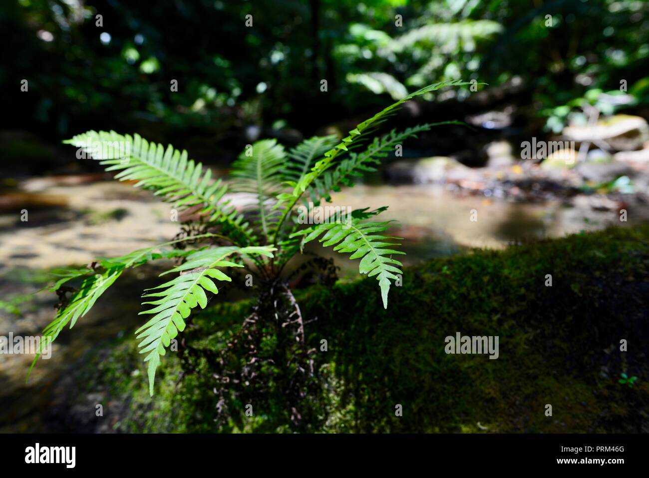 A Fern growing on a rock near a river, Gorrell track, Misty Mountains, Queensland, Australia Stock Photo