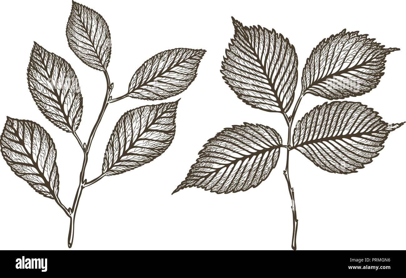 Hand drawn twig of tree with leaves. Sketch vintage vector illustration - Stock Vector