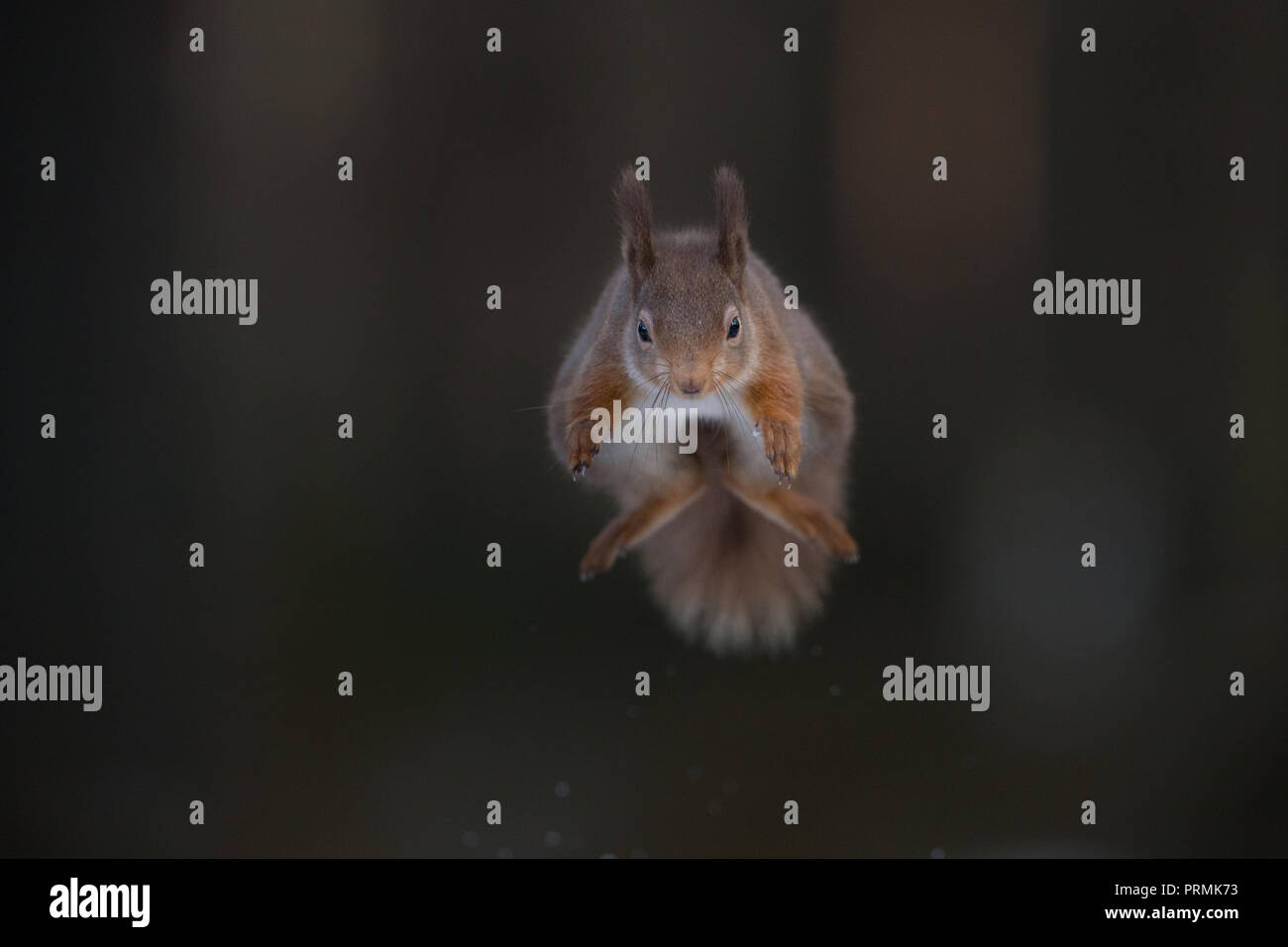 A red squirrel (Sciurus vulgaris) leaping towards the camera, in a woodlands in the Scottish Highlands. - Stock Image